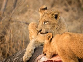 Lions at Sabi Sabi - 2017