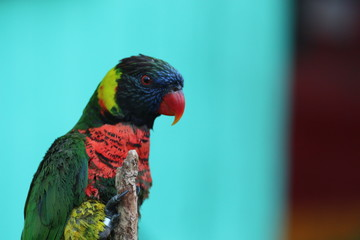 Portrait of a Lorikeet / Exotic Bird