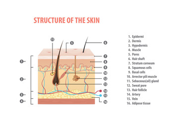Structure of the skin info with number illustration vector on white background. Medical concept.