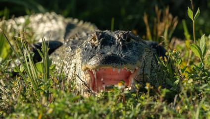 alligator shows you his big mouth at sunset