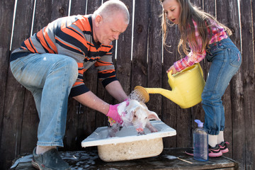 Farmer bathes small pig in sink with foam before selling it on market. Farmer's daughter pours water from yellow garden watering can. Man's hands in pink rubber gloves close-up. Copy space
