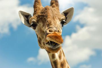 Funny portrait giraffe against blue sky clouds