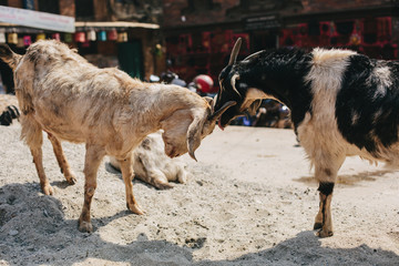 Goats playing in Bhaktaput ancient city of Nepal