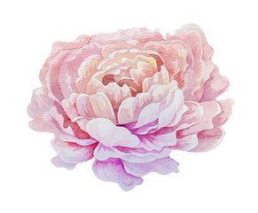 Isolated pink watercolor painting peony flower