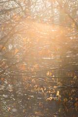 Sunbeam shining through beech trees in autumn