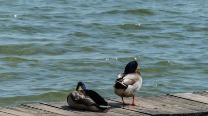 Enten auf Holzsteg