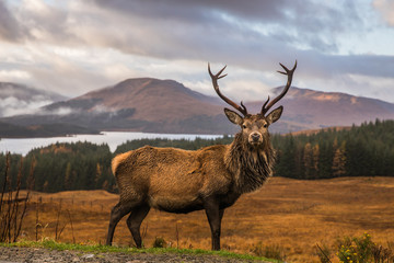 Photo sur Aluminium Cerf Portrait of a free and wild Scottish stag, as captured in the Highlands