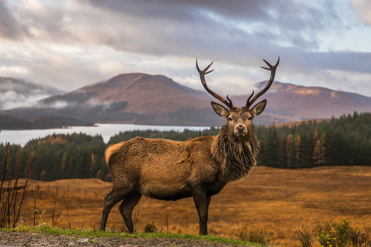 Portrait of a free and wild Scottish stag, as captured in the Highlands