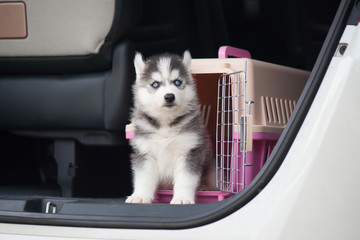 siberian husky puppy  sitting in a travel box