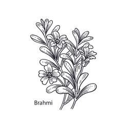 Medical plant Brahmi.