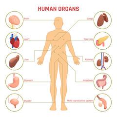 Human Organs Infographics
