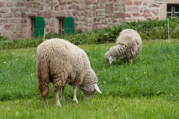 portrait of sheep grazing in a meadow