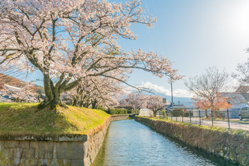 Beautiful cherry blossom , sakura  in spring time of The Tatsuoka Castle in  Nagano Prefecture,Japan.