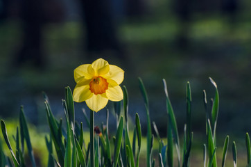 DAFFODIL - Flower on the square in the city park