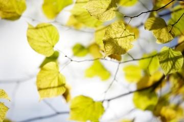 jesienne żółte liście lipy