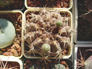 Cactus Gymnocalycium megatae with brown stem and green buds.