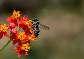 Black and White striped bee pollinates Milkweed, Macro