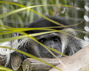 Black and White Colobus Monkey peeping from the Grass