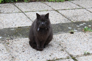 Dark grey cat