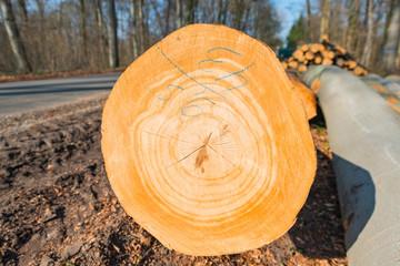 Schnittfläche eines gefällten Baumes nach Sturmschaden