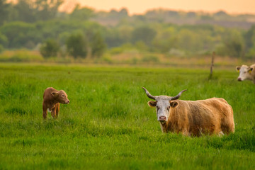 Wall Mural - Cow and calf on a field