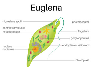 The structure and diagram of euglena