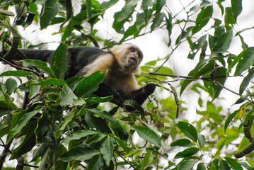 A Capuchin monkey watches from his tree the hikers walking on the way to Corcovado National Park, Costa Rica