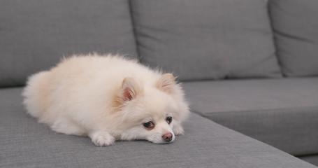 White Pomeranian dog sitting on sofa
