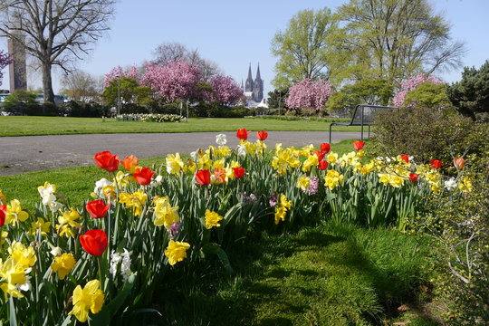 Tulpen und Narzissen im Kölner Rheinpark mit Dom.