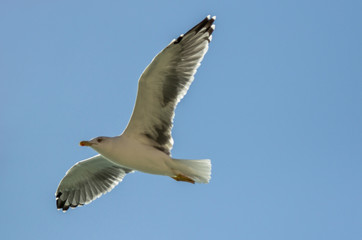White flying seagull
