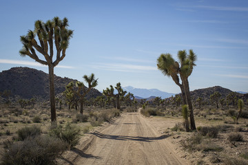 Dirt road amidst plants against blue sky at Joshua Tree National Park during sunny day
