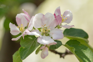 Flowers on a branch of an apple tree in spring