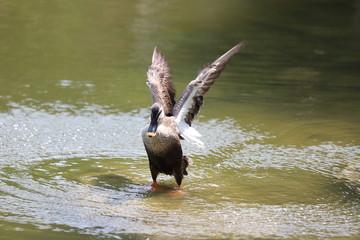 鴨の羽ばたき