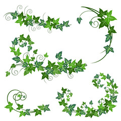 Ivy vines. Realistic vector illustrations of ivy vines isolated on white background for floral decorative design.