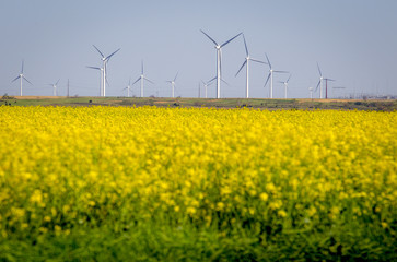 Yellow flowers on field against windmills