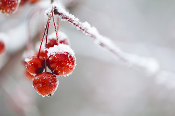Close-up of snow covered cherries