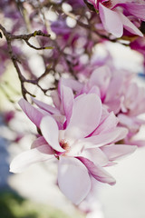 Close-up of pink magnolia blooming on branch