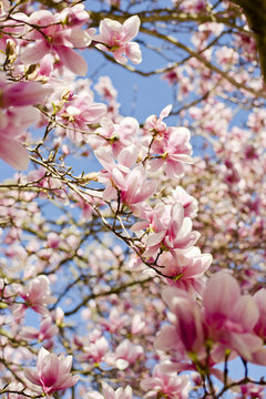 Close-up of pink magnolia blooming on branches