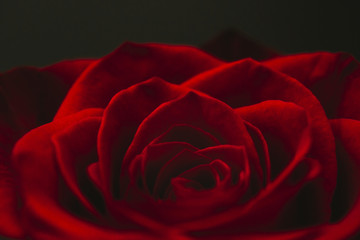 Extreme close-up of red rose blooming outdoors at night