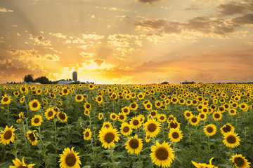 Sunflower Field and a Dramatic Sky