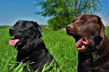 two dogs black and brown labrador sit in the grass and yawns