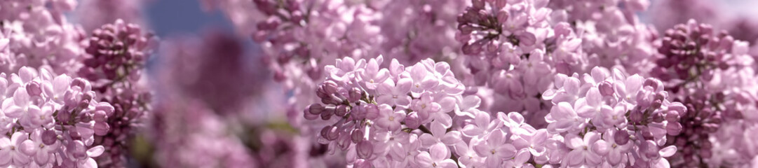 Printed roller blinds Lilac header panorama springtime bunches of lilac blossoms on branches