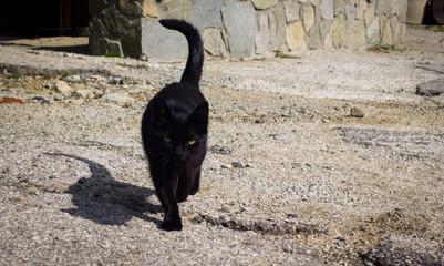 Black cat with yellow eyes. Slovakia