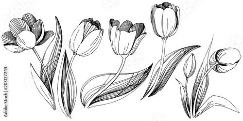 Wildflower Tulip Flower In A Vector Style Isolated Full Name Of The