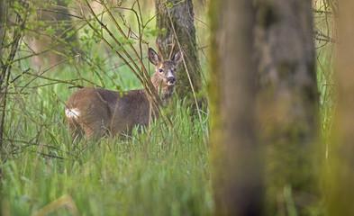 European roe deer buck between tall grass in forest looking towards camera.