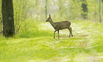 European roe deer standing on forest path.
