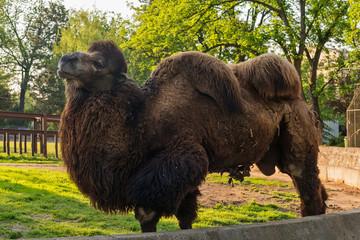 Camel in zoo