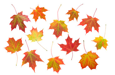 Maple leaf composition isolated on white