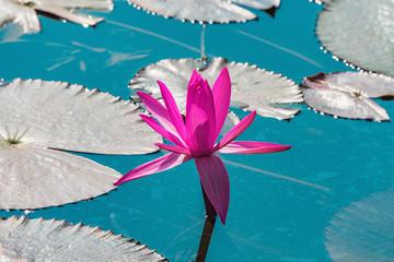 Red lotus flower.
