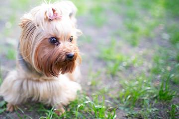 Fototapeta Portrait of male or female Yorkshire Terrier dog.